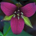 Southern Red Trillium by Barbara Bowen