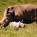 Southern White Rhino With A Little One by Laurel Talabere