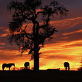 Southwestern Sunrise Color, Silhouetted Oak Tree And Three Horses by Stephanie Laird