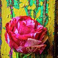 Soutime Rose Against Cracked Wall by Garry Gay