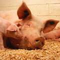 Sow And Piglets by PhotographyAssociates