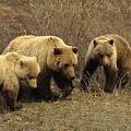 Sow Grizzly With Cubs by Michael S. Quinton