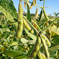 Soybeans In Autumn by Robert Meyers-Lussier