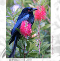 Spangled Drongo by Holly Kempe