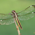 Spangled Skimmer Dragonfly Female by Donna Brown