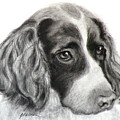 Spaniel Drawing by Susan A Becker