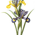 Spanish Iris by Granger