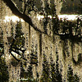 Spanish Moss by Donna Thomas