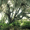 Spanish Moss In Motion by Peg Urban