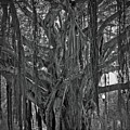 Spanish Moss Of The Tree by Jost Houk
