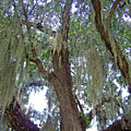 Spanish Moss by Patricia Taylor