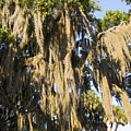 Spanish Moss  by Sally Weigand