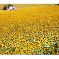 Spanish Sunflowers by Mal Bray