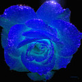 Sparkling Blue Rose - Painted by Ericamaxine Price