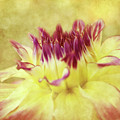 Sparkling Dahlia by Beve Brown-Clark Photography