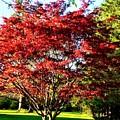Sparkling Japaneese Maple Tree by Debra Lynch