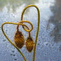 Sparkling Knotted Poppy Pod by Barbara St Jean