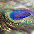 Sparkling Peacock Feather by Angela Murdock