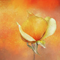 Sparkly Peach Rose by Terry Davis