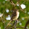 Sparrow-1 by Floyd Kauffman