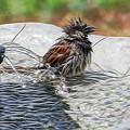 Sparrow Bath Time 9242 by Ericamaxine Price