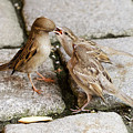 Sparrow Feeding Fledgelings by Peter Hermes Furian