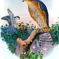 Sparrow Hawk Antique Bird Print Joseph Wolf Birds Of Great Britain  by Orchard Arts