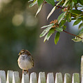Sparrow In Colonial Williamsburg by Rachel Morrison