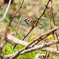 Sparrow In The Thorns by Alain De Maximy