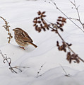 Sparrow In The Winter Snow by Jan M Holden