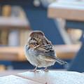 Sparrow by Karen Capehart