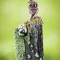 Savannah Sparrow by Lori Dobbs