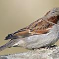 Sparrow by Melanie Viola