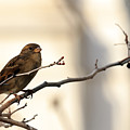 Sparrow On A Limb by Travis Rogers