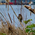 Sparrow On The Cattails by As the Dinosaur Flies Photography