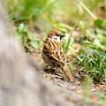 Sparrow On The Ground by Alain De Maximy