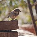 Sparrow. by Robert Rodda