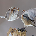 Sparrows Fight by Mircea Costina Photography