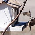 Sparrows In Fight by Marjorie Imbeau