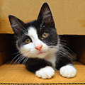 Special Delivery Tuxedo Kitten by Catherine Sherman