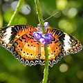 Speckled Butterfly by Wendy Fox