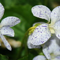 Speckled Wilflower by Patrick  Short