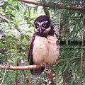 Spectacled Owl 100_2095 by Captain Debbie Ritter