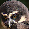 Spectacled Owl Portrait 2 by William Selander