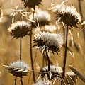 Spent Flowers In The Field by Sharon Foelz