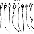 Spermatozoa, Leeuwenhoek, 1657 by Wellcome Images