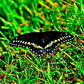 Spicebush Swallow Tail by American Image Bednar