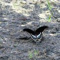 Spicebush Swallowtail 2 by George Jones