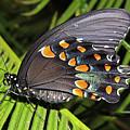 Spicebush Swallowtail Butterfly by Lindy Pollard