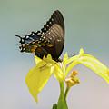 Spicebush Swallowtail by Judy Tomlinson